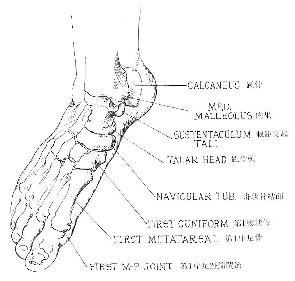 足部の骨の解剖図