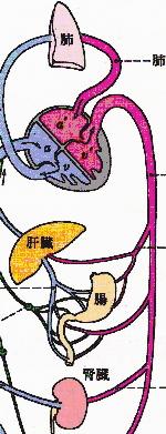 内臓の解剖図